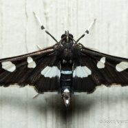 Grape Leaffolder (Desmia funeralis) Moth