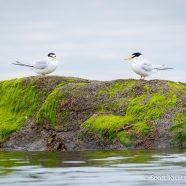 Least Terns Return