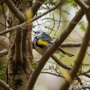 Leucistic Yellow-rumped Warbler
