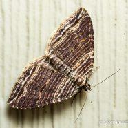 Many-lined Carpet Moth
