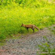 Red Fox Trail