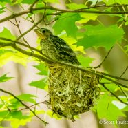 Brown-headed Cowbird Nestling