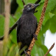Common Grackle Fledgling