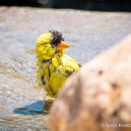 American Goldfinch Bath