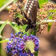 Black Swallowtail Dancing