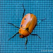 Grapevine Borer Beetle
