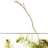 Humped Bladderwort (Utricularia macrorhiza)