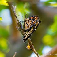 Mated Monarchs