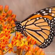 Butterfly on Butterfly