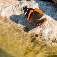 Red Admiral Reflection