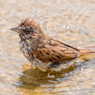 Song Sparrow Bath