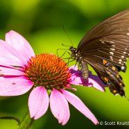 Spicebush Swallowtail on Eastern Purple Coneflower