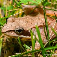 Wood Frog (Lithobates sylvaticus)