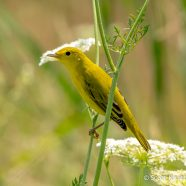 Yellow Warbler on Queen Anne's Lace