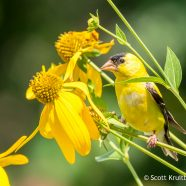 American Goldfinch on Cutleaf Coneflower