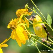 American Goldfinch on Cutleaf Coneflower
