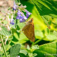 Broad-winged Skipper (Poanes viator)