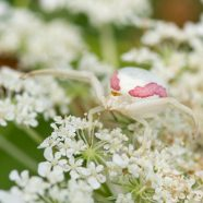 Flower Crab Spider (Misumena vatia)