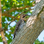 Hot Northern Flicker