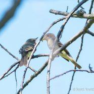 Fledgling Flycatcher