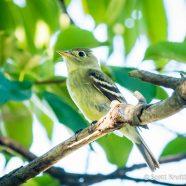 Yellow-bellied Flycatcher (Empidonax flaviventris)