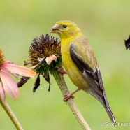 American Goldfinch Eating Coneflowers