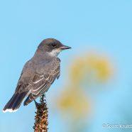 Migrant Eastern Kingbird