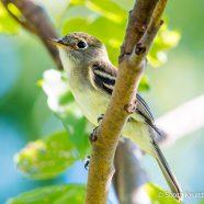Least Flycatcher (Empidonax minimus)
