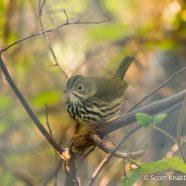 Autumn Ovenbird