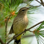Early Palm Warblers