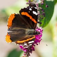 Fresh Red Admiral