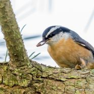 Red-breasted Nuthatch Invasion