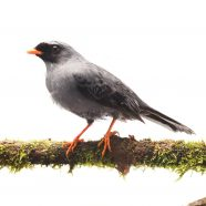 Black-faced Solitaire (Myadestes melanops)