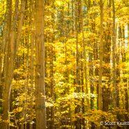 Yellow Woodlands