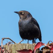 Injured Rusty Blackbird