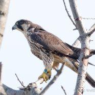 Banded Peregrine Falcon