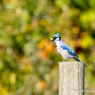 Blue Jay Caching