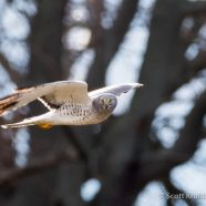 Winter Raptor Survey Training January 11