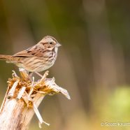 Diverse Song Sparrows