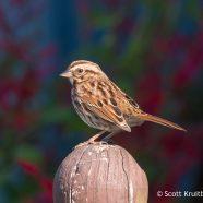 Festive Song Sparrow
