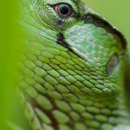 Canopy Lizard (Polychrus gutturosus)