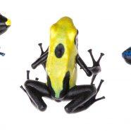 Dyeing Poison Dart Frog (Dendrobates tinctorius)