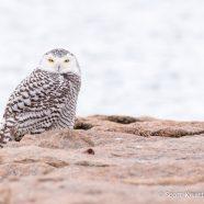 Snowy Owl Season