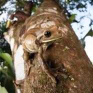 Common Milk Frog (Trachycephalus venulosus)