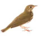 Ovenbird-3724