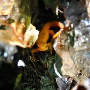 Not All Salamanders Are Newts…