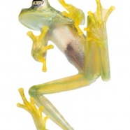 Ghost Glass Frogs!