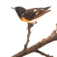 American Redstart Changing into Fall Plumage