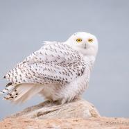 Snowy Owl Arrival