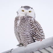 Dark Snowy Owl